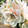 bíločervený hvězdník amaryllis nymph 6