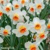 bílooranžový narcis barret browning 2