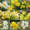 narcisy směs nízkých botanických narcisů 2