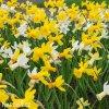 narcisy směs nízkých botanických narcisů 3