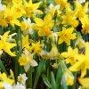 Narcis Botanic mix 5