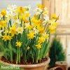 narcisy směs nízkých botanických narcisů 6