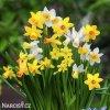 narcisy směs nízkých botanických narcisů 1