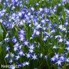 ladonička modrá chionodoxa blue 2