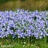 ladonička modrá chionodoxa blue 3