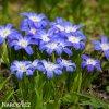 ladonička modrá chionodoxa blue 4
