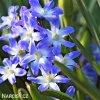 ladonička modrá chionodoxa blue 5