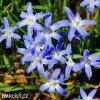 ladonička modrá chionodoxa blue 6