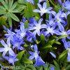 ladonička modrá chionodoxa blue 1