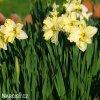 žlutobílý narcis split cassata 2
