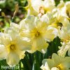 žlutobílý narcis split cassata 3