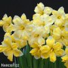 žlutobílý narcis split cassata 4