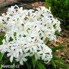 ladonička bílá chionodoxa white 3