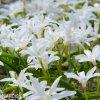 ladonička bílá chionodoxa white 5