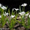 ladonička bílá chionodoxa white 6