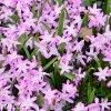 ladonička růžová chionodoxa pink 2