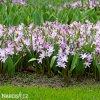 ladonička růžová chionodoxa pink 5