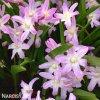ladonička růžová chionodoxa pink 1