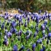 modřenec muscari latifolium 2
