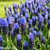 modřenec muscari latifolium 4