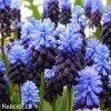 modřenec muscari latifolium 1