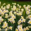 bíložlutý narcis split bella estrella 5