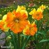 žlutooranžový narcis split congress 5