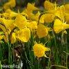 žlutý narcis bulbocodium golden bells 2