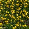 žlutý narcis bulbocodium golden bells 3
