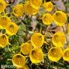 žlutý narcis bulbocodium golden bells 4