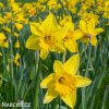 Narcis Dutch master 2