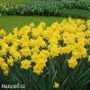 Narcis Dutch master 5