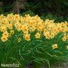 žlutooranžový narcis kedron 2