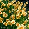 žlutooranžový narcis kedron 5