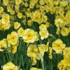 žlutý vícekvětý narcis sundisc 2