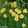 žlutý vícekvětý narcis sundisc 4
