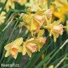 žlutorůžový narcis blushing lady 3