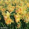 žlutorůžový narcis blushing lady 5