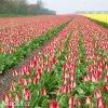 bilocerveny tulipan alectric 3