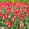 bilocerveny tulipan alectric 4