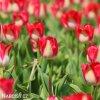 bilocerveny tulipan alectric 7