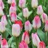 ruzovy tulipan triumph flaming purissima 2
