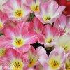 ruzovy tulipan triumph flaming purissima 3