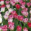ruzovy tulipan triumph flaming purissima 5