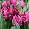 Tulipan Parrot Prince 3