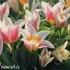 biloruzovy vicekvety tulipan quebec 4
