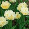 Tulipany Verona 2