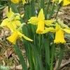 Narcis February gold 3