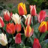 Tulipán Greigii mix 2
