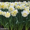 bílý plnokvětý narcis ice king 6